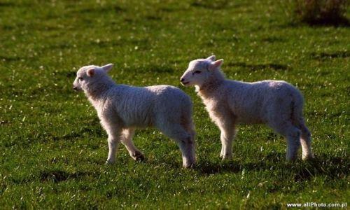 Zdjęcie IRLANDIA / Kerry / Półwysep Dingle / Owieczki na półwyspie Dingle