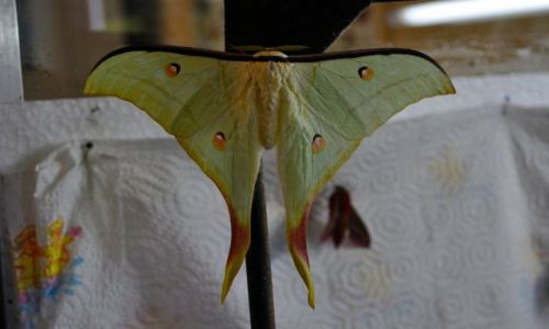 IRLANDIA / - / Farma motyli Straffan / Motyl