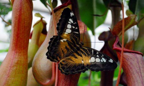 Zdjecie IRLANDIA / - / Farma motyli Straffan / Motyl