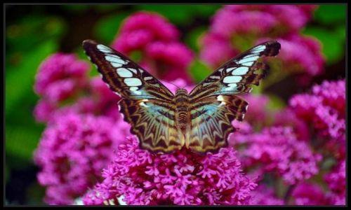 Zdjęcie IRLANDIA / - / Straffan / Motyl