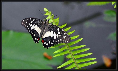 IRLANDIA / - / Straffan / Motyl