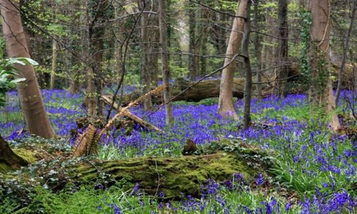 Zdjecie IRLANDIA / county Down / Warrenpoint / bluebells