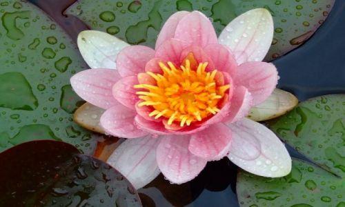 Zdjecie IRLANDIA / Co. Wiklow / Ogród Powerscourt / Lilia wodna tyle że różowa