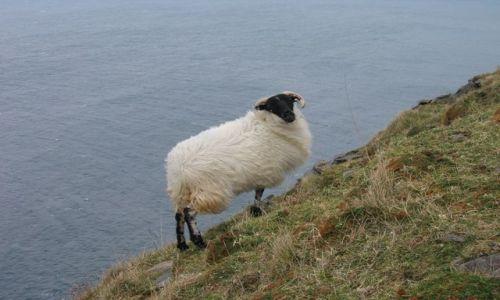 Zdjecie IRLANDIA / brak / dzies na poludniowym wybrzezu / owieczka