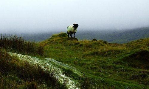Zdjecie IRLANDIA / brak / co. Mayo / z serii samotna owca w typowy, deszczowy dzień