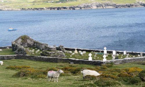 Zdjecie IRLANDIA / galway / tuam / wypas owiec