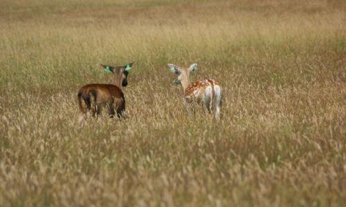 Zdjecie IRLANDIA / okolice Dublina / Phoenix Park / Bambi :)