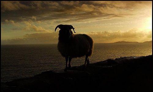 Zdjęcie IRLANDIA / Dingle / Slea Head Drive / owca wieczorową porą