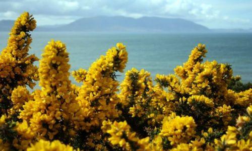 Zdjęcie IRLANDIA / Cork - Dingle / półwysep Dingle / Wszechobecny GROSZEK ŁĄKOWY (Lathyrus pratensis)