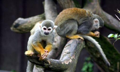 Zdjęcie IRLANDIA / FOTA / FOTA WILDLIFE PARK / Monkey