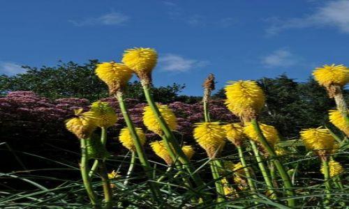 Zdjecie IRLANDIA / - / Dublin Ogród Botaniczny / Trytoma groniasta