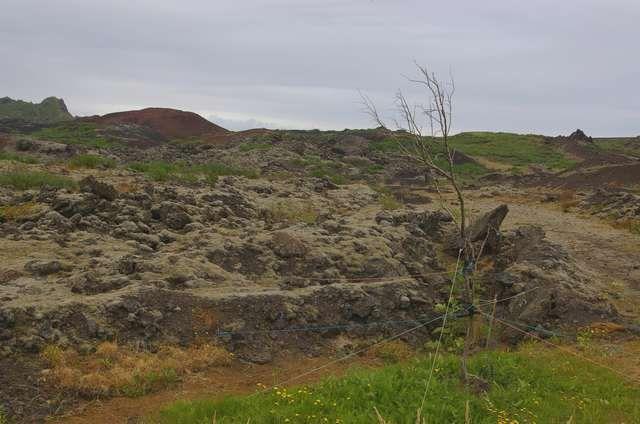 Zdjęcia: Wyspa Heimaey, Wyspy Westmanów, Drzewu na ratunek, ISLANDIA