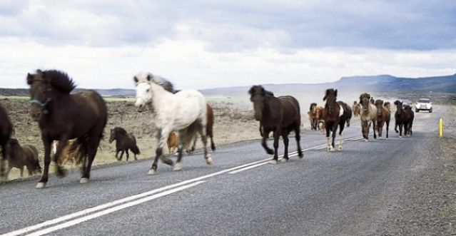 Zdjęcia: Okolice miejscowości Hella, Ruch uliczny inaczej, ISLANDIA