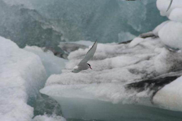 Zdjęcia: Jokursalon, południowa Islandia, mewa, ISLANDIA