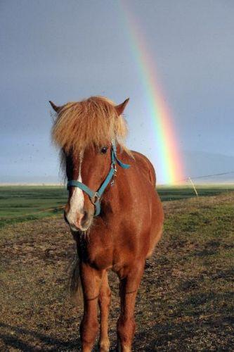 Zdjęcia: Niedaleko Husaviku, Północna Islandia, konik, ISLANDIA