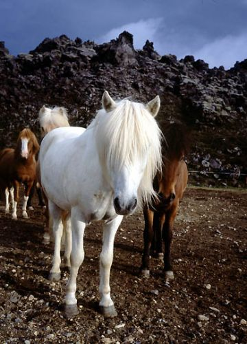 Zdjęcia: Islandia, Landmannalaugar, konie na lawie, ISLANDIA