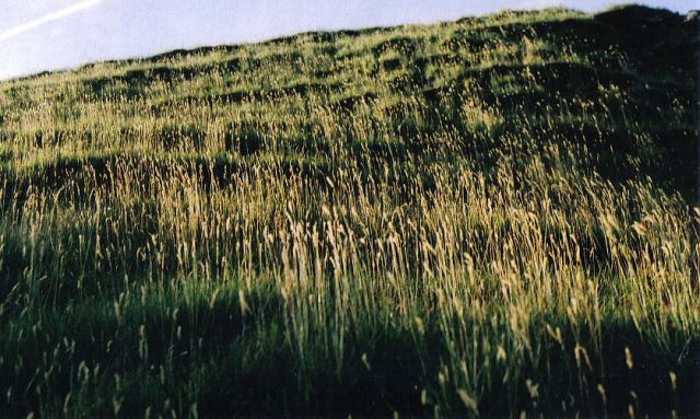 Zdjęcia: łąka, grasss, ISLANDIA
