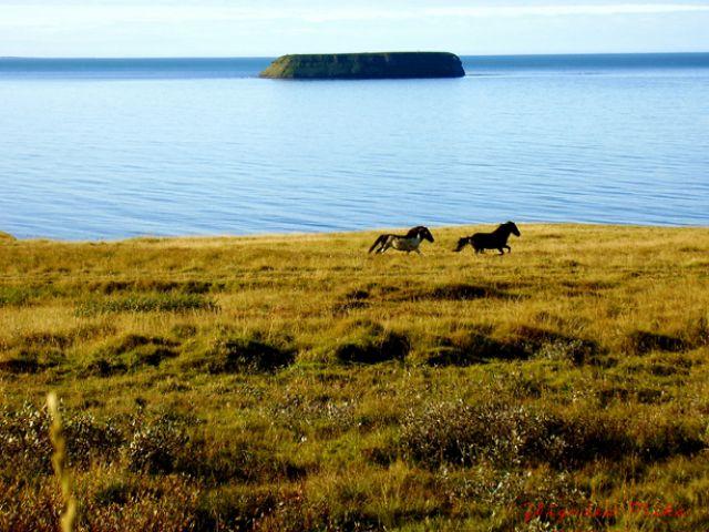 Zdjęcia: Husavik, Polnocna Islandia, Koniki islandzkie, ISLANDIA