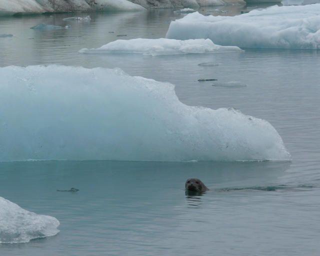 Zdjęcia: Jokulsarlon - Lodowa laguna, Południowa Islandia, Miłe stworzenie, ISLANDIA