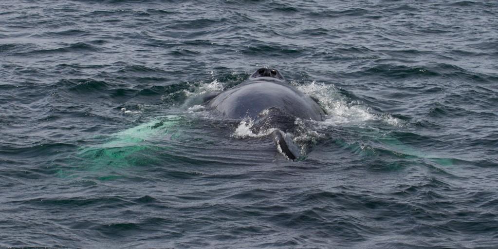 Zdjęcia: okolice Husavik, islandia północna, whale watching, ISLANDIA