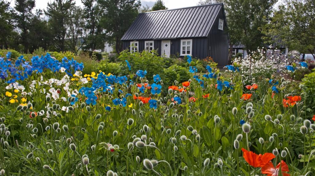 Zdjęcia: Akureyri, Niebieskie maki, ISLANDIA