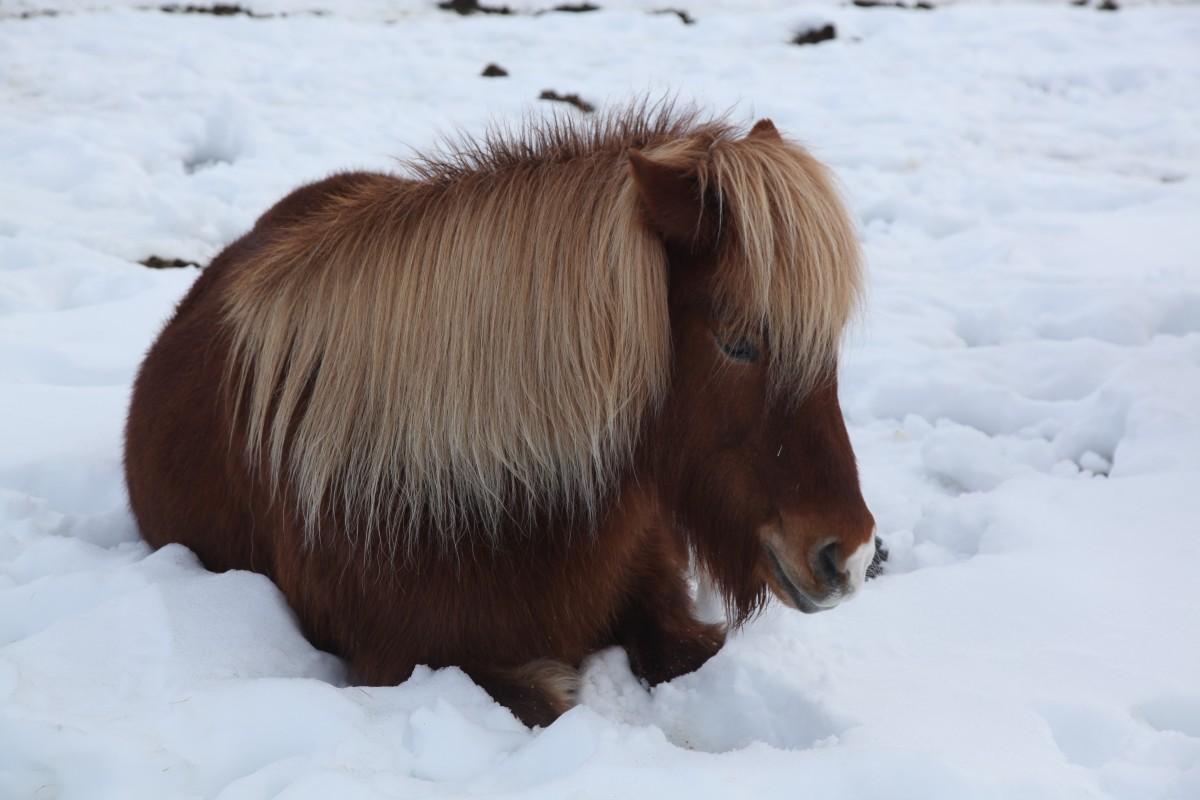 Zdjęcia: Hafnarfjordur, Reykjavik, Konik, ISLANDIA