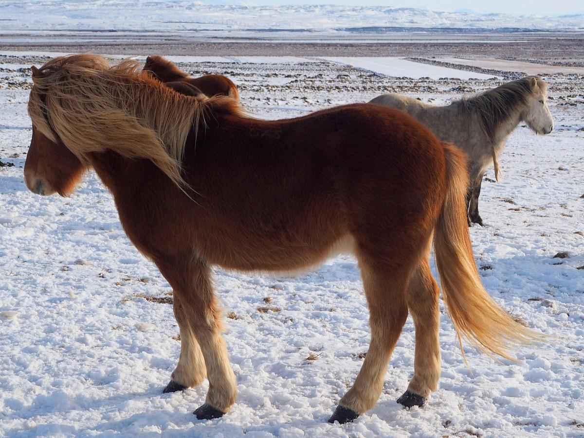 Zdjęcia: Złoty krąg, okolice Reykjaviku, Jaki jest koń islandzki każdy widzi..... włochaty;), ISLANDIA