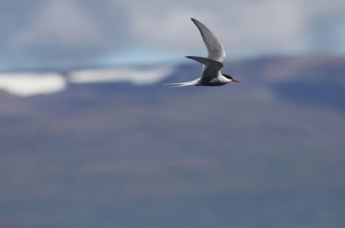 Zdjęcia: nad..., Fjordy Zachodnie, Rybitwa... rzeczna, ISLANDIA