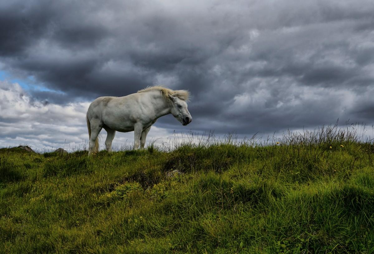 Zdjęcia: Fjordy Zachodnie, Fjordy Zachodnie, Koń islandzki, ISLANDIA
