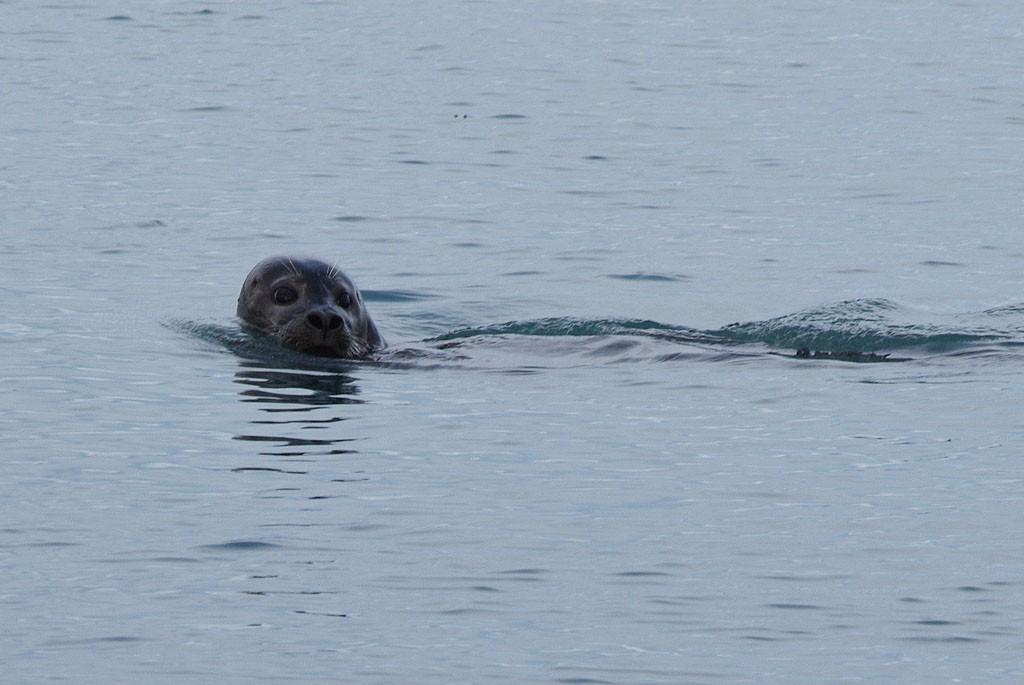 Zdjęcia: Jökulsárlón, Jökulsárlón, Islandzka foka, ISLANDIA