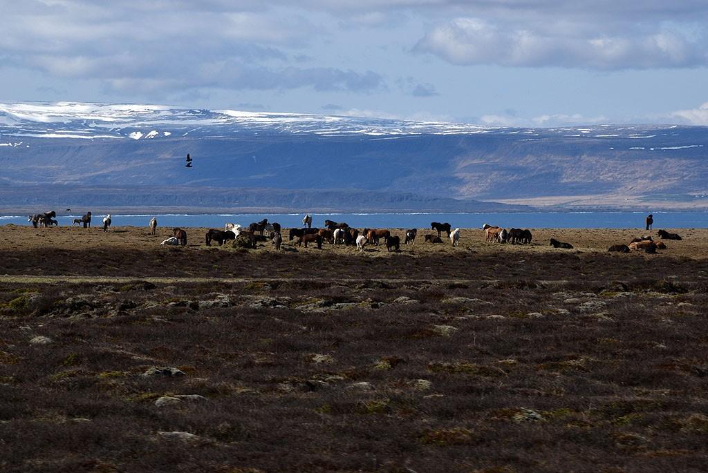 Zdjęcia: Islandia północna, Islandia północna, Islandzkie konie, ISLANDIA