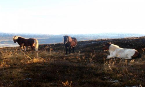 Zdjęcie ISLANDIA / Islandia północna / Okolice Akureyri / Dzikie konie
