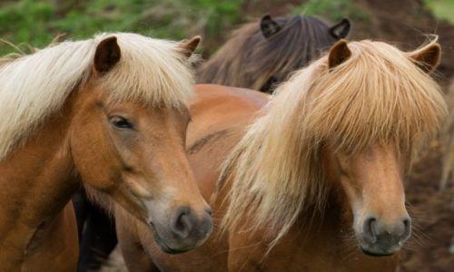 Zdjęcie ISLANDIA / Islandia północna / Islandia północna / ach te blondynki...