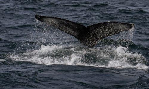 Zdjęcie ISLANDIA / islandia północna / okolice Husavik / whale watching