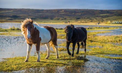 Zdjęcie ISLANDIA / Islandia północna / Okolice Akureyri  / Islandzkie kuce