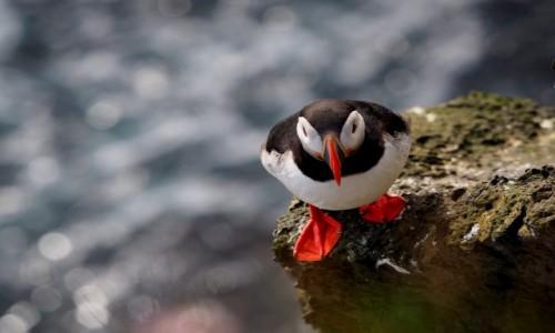 Zdjęcie ISLANDIA / Fiordy zachodnie / Klify Latrabjarg / Maskonurek