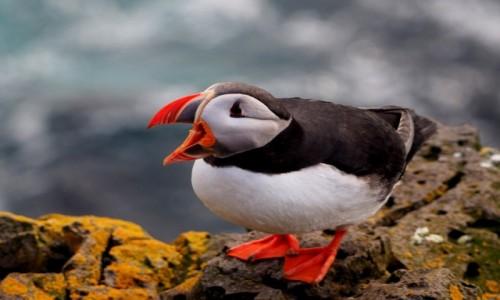 Zdjęcie ISLANDIA / Fiordy zachodnie / Klify Latrabjarg / Maskonur jeszcze