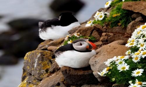 Zdjęcie ISLANDIA / Fiordy zachodnie / Klify Latrabjarg / Maskonury w kwiatach