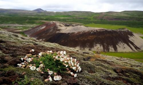 Zdjecie ISLANDIA / Islandia zachodnia / Grábrók krater / Życie na lawie