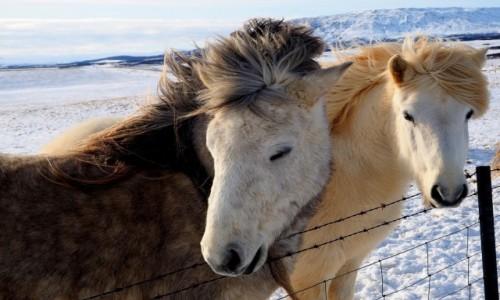 Zdjecie ISLANDIA / okolice Reykjaviku / Złoty krąg / Islandzkie konie
