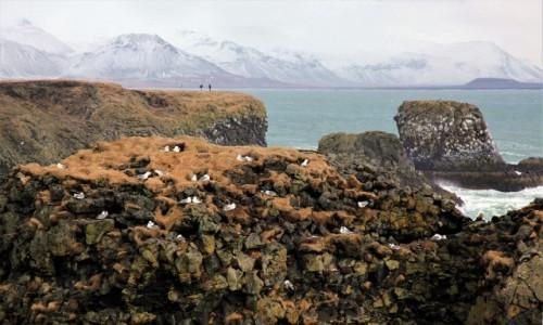 Zdjecie ISLANDIA /  Półwysep Snæfellsnes / Arnarstapi / Ptaki i ludzie