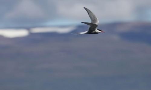 Zdjecie ISLANDIA / Fjordy Zachodnie / nad... / Rybitwa... rzeczna