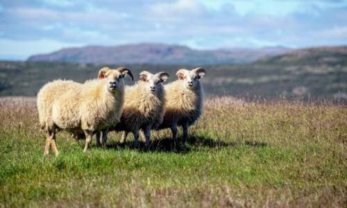 Zdjecie ISLANDIA / interior / w drodze / Były sobie (owce) trzy....