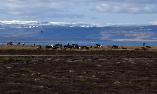 Zdjecie ISLANDIA / Islandia północna / Islandia północna / Islandzkie konie