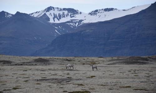Zdjecie ISLANDIA / Islandia wschodnia / Islandia wschodnia / Islandzkie renifery