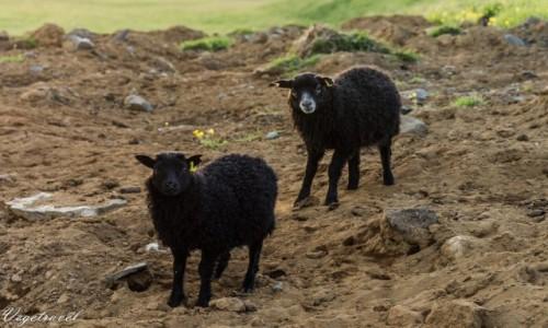 Zdjecie ISLANDIA / Hof / Islandia / Czarne owce