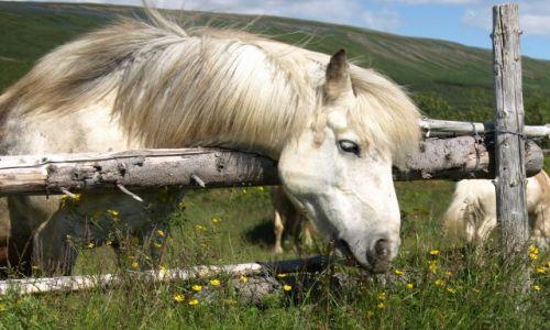 Zdjecie ISLANDIA / brak / Islandia / Koń rasy islandzkiej