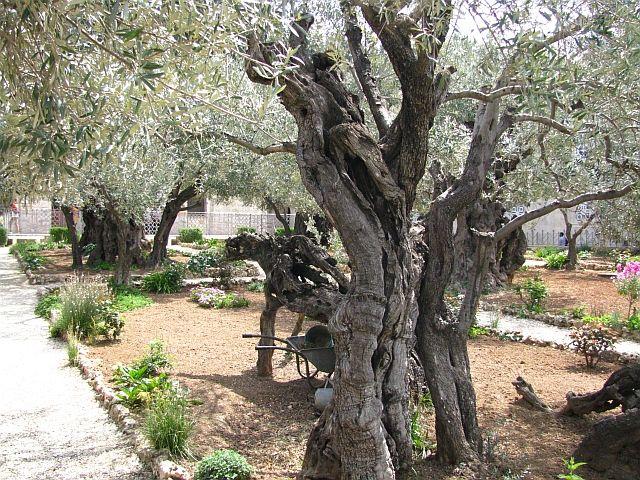 Zdjęcia: Jerozolima, Judea, Ogród Getsamini, IZRAEL