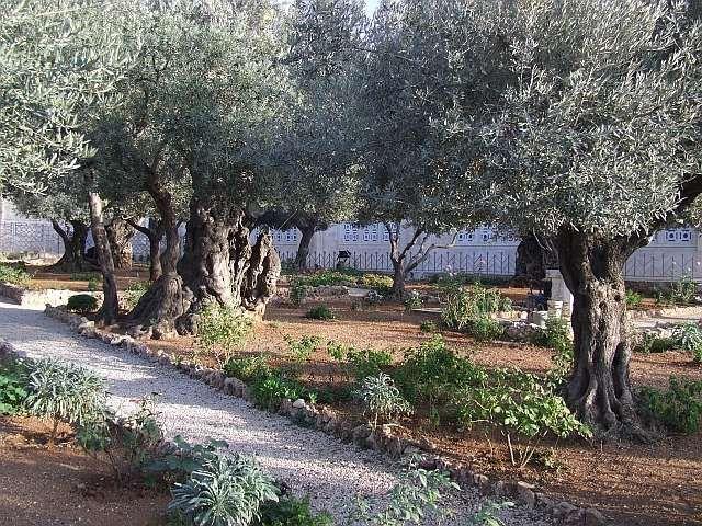 Zdjęcia: Jerozolima, Jerozolima, Ogród oliwny, IZRAEL