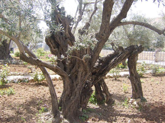 Zdjęcia: W mieściee, Jerozolima, drzewo oliwne, IZRAEL